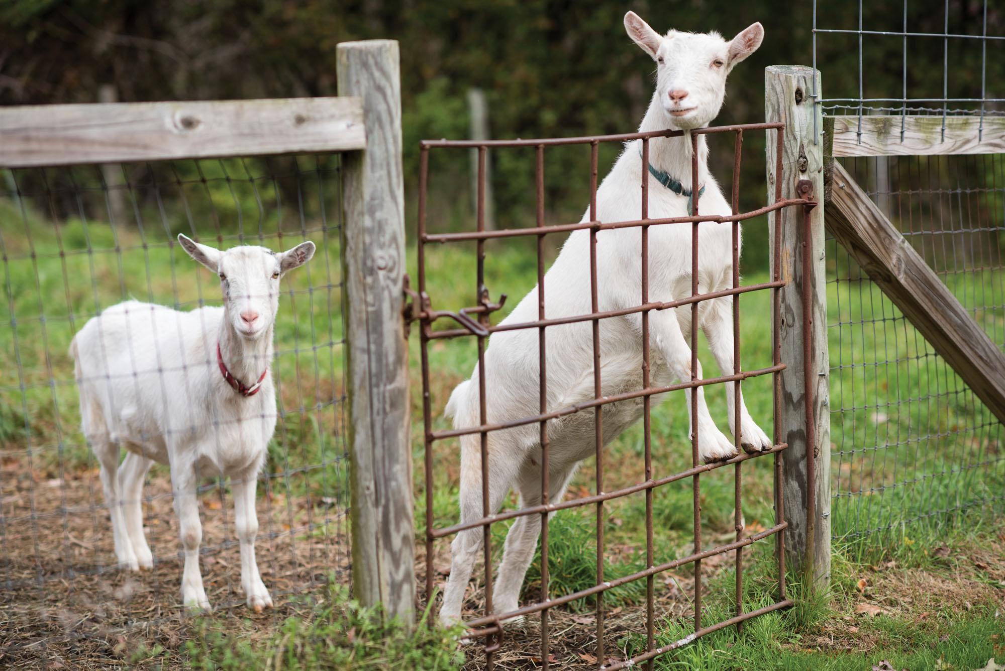 two farm goats