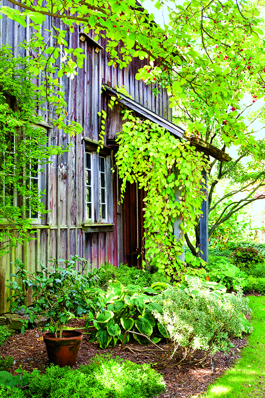 Vines and hostas grow near the Red Barn.