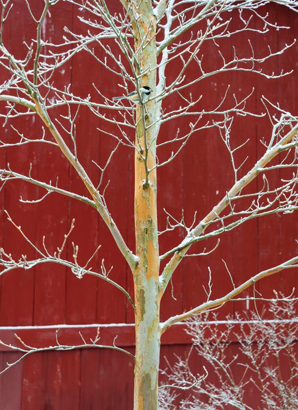 Stewartia pseudocamellia tree