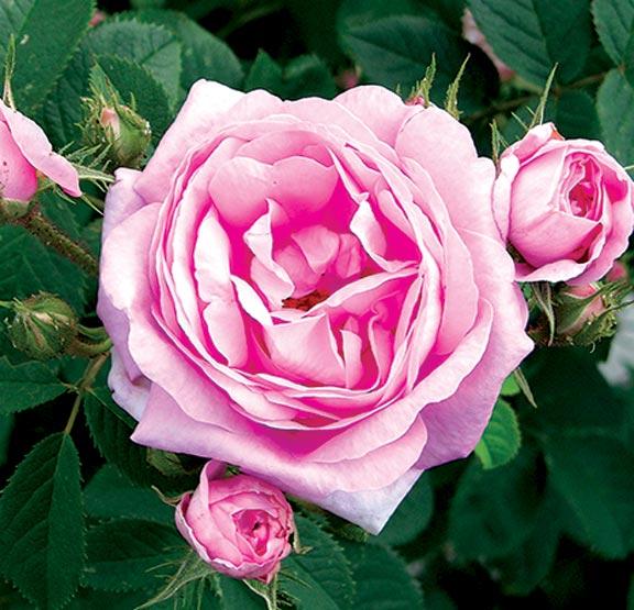Queen of Denmark antique rose