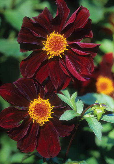 Heirloom species such as Dahlia atropurpurea, which dates back to the late 18th century, can be found at nurseries like Old House Gardens.
