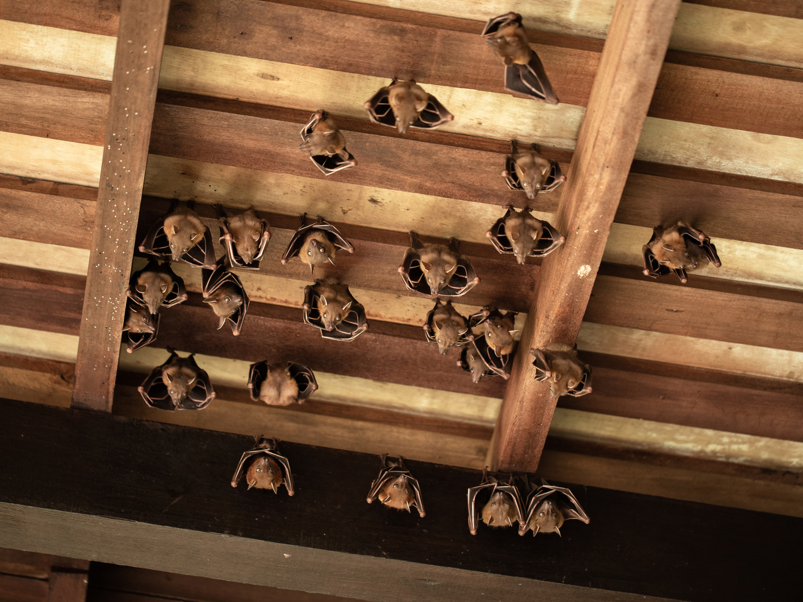 Using Exclusion To Remove Bats From Your House Old