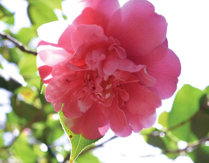 Duffields' camellias bloom in an array of colors, shapes, and sizes, including Camellia japonica.