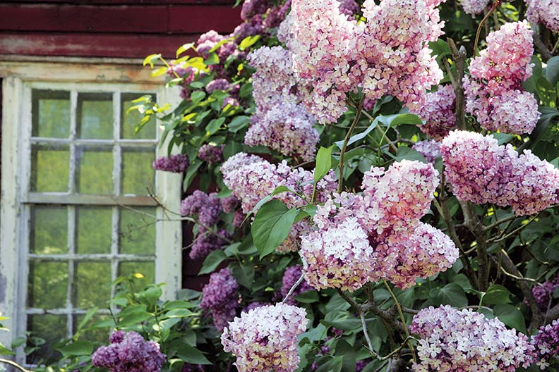 Lilacs in bloom at the Shelburne Museum in Vermont.