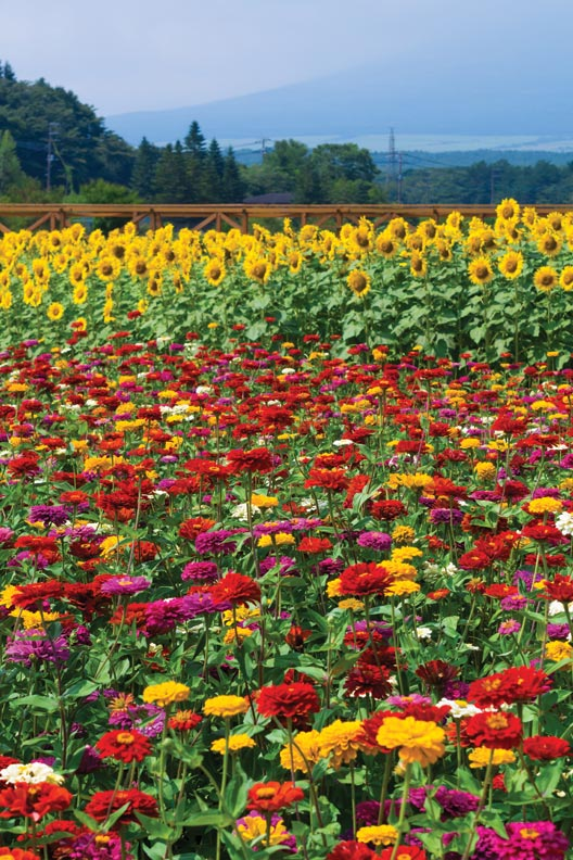 colorful cutting annuals