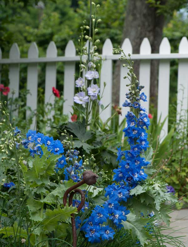 Delphiniums from seeds purchased in New Zealand thrive along the picket fence in the cutting garden.