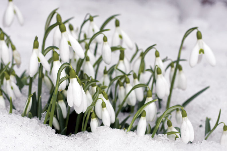 Snowdrops peek through the winter's snow in anticipation of spring.
