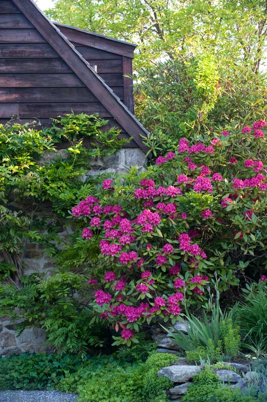 From the driveway, a rhododendron perks up the gambrel side.