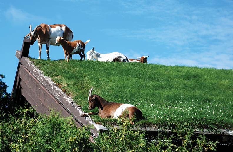 Goats graze on the sod roof at Al Johnson's Swedish restaurant. (Photo: Courtesy of DoorCounty.com)