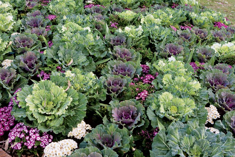 Large cabbage leaves mix with delicate flowers in this garden bed.