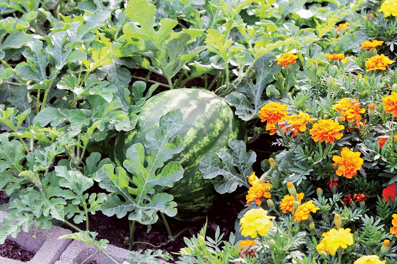 A large watermelon sits side by side with colorful marigolds for the ultimate late summer garden.