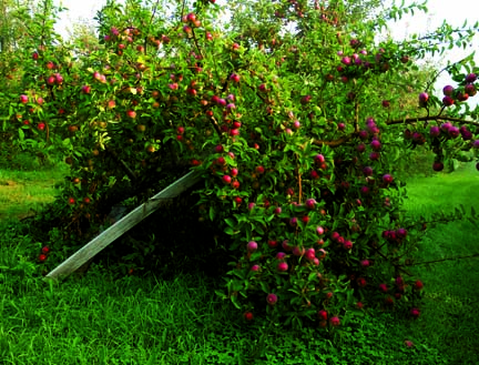 Antique apples offer sweet-tasting fruit as well as beauty to the new old house garden.