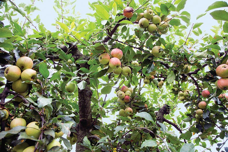 When planning your orchard, keep in mind that trees may not yield fruit for a few years or more.