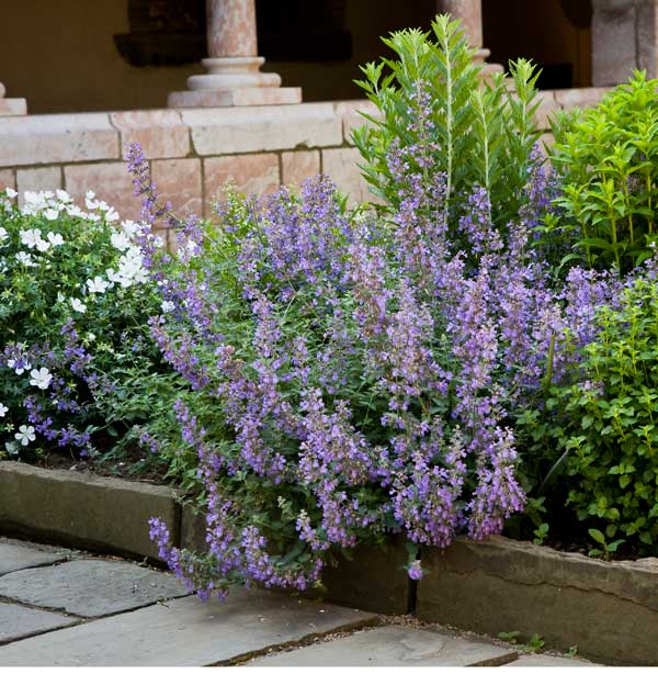 Hybrid catmint (nepeta) in a border.