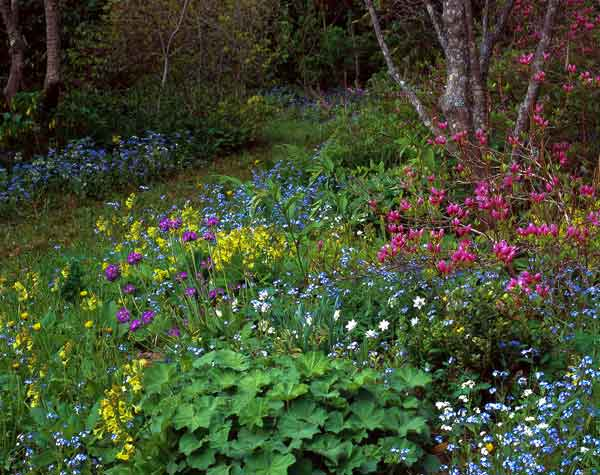 In spring, Grout Hill is a riot of color as primroses perform with deciduous azaleas, forget-me-nots, and daffodils.