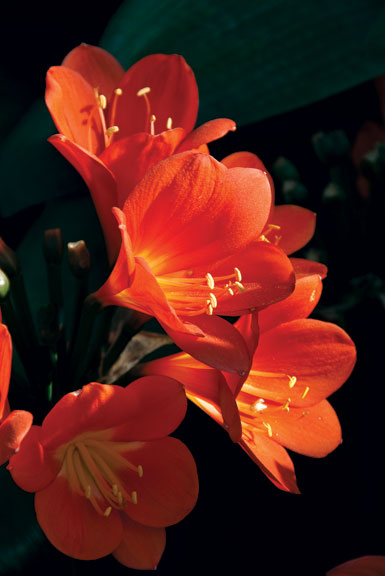 Clivia is a hardy plant and needs minimal care. Native to the Horn of Africa, its red or yellow blooms resemble lilies.