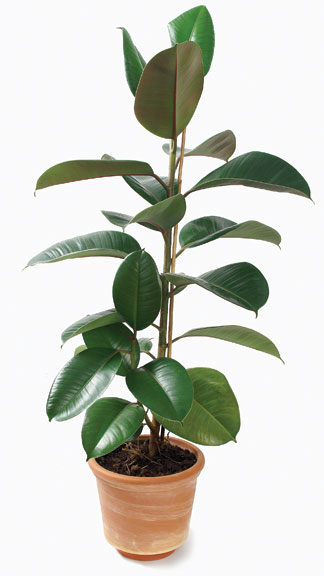 Purple rubber tree plant