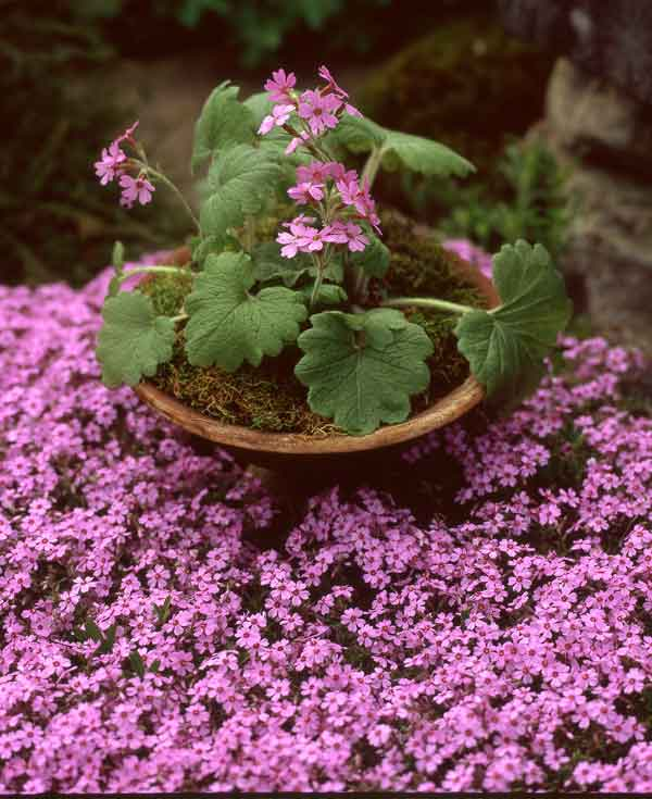 Matching nicely with the moss phlox of spring, Primula kisoana is a fast-moving groundcover.