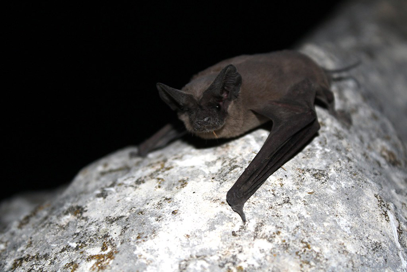Mexican Free Tailed Bat