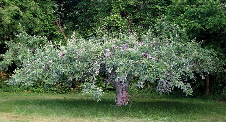 Renovated trees have a pleasant, full shape and bear fruit within easy reach.