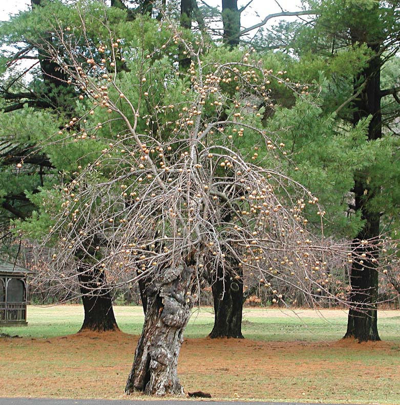 Neglected trees are tall and gangly, with fruit atop towering branches.