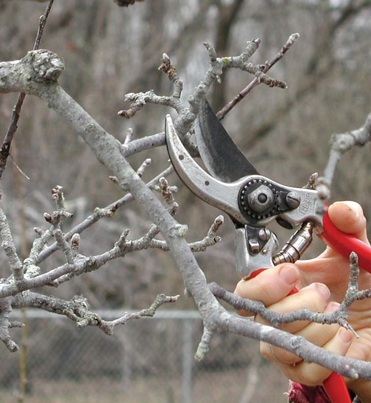 Thinning apple spurs encourages healthy new growth, resulting in tastier fruit.