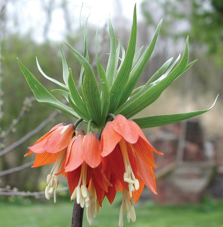 The distinctive blossoms of the 'crown imperial' fritillary.