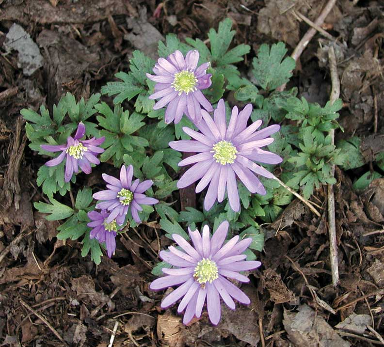 Windflowers resemble pastel-colored daisies with lacy leaves.