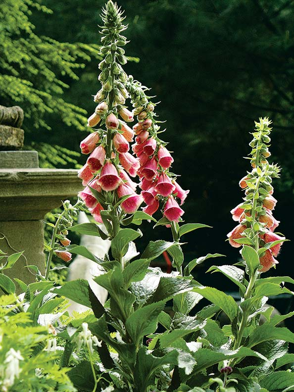 Old-fashioned favorites include foxgloves at Steepway Farm. (Photo: Kit Latham)