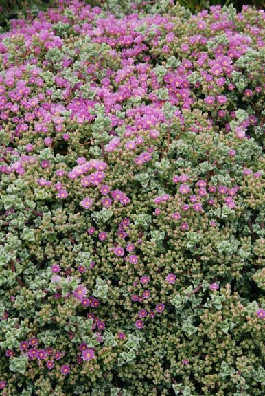 Purple flowers burst from the easy-to-grow succulent ground cover Oscularia deltoids.
