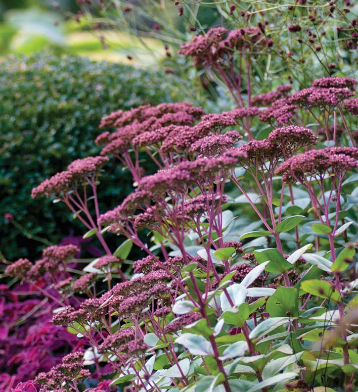 Rosy Sedum 'Matrona' rises above the silver leaves of Stachys.