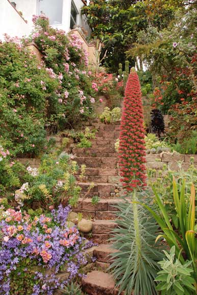Steps lead to the house from the lower garden—a planting opportunity for towering coral Echium wildpretti on the right, and a pink Alstroemeria hybrid pushing out from the lavender stars of Serbian bellflower.