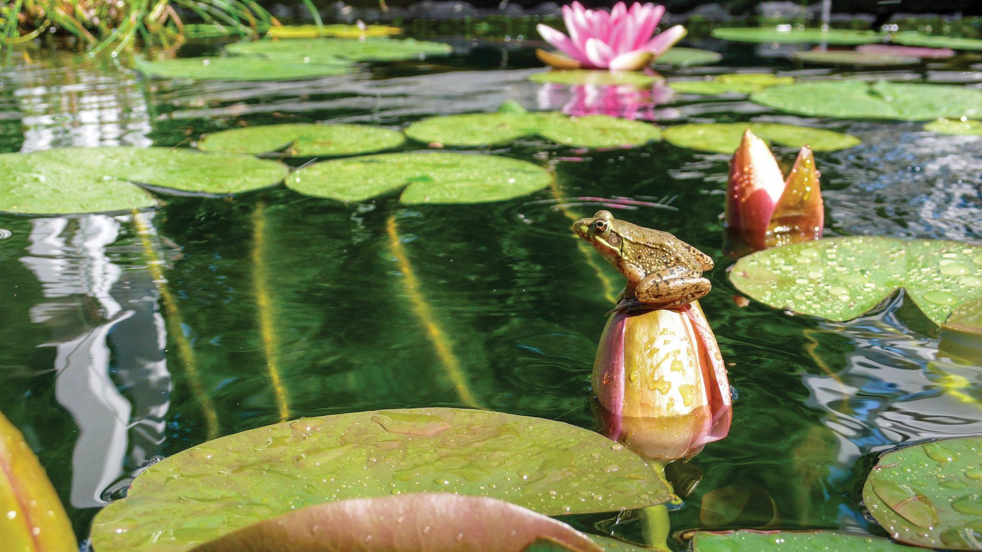 frog in frog pond