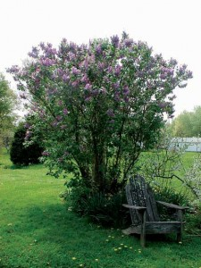 A well-pruned lilac shrub offers fragrance and color.