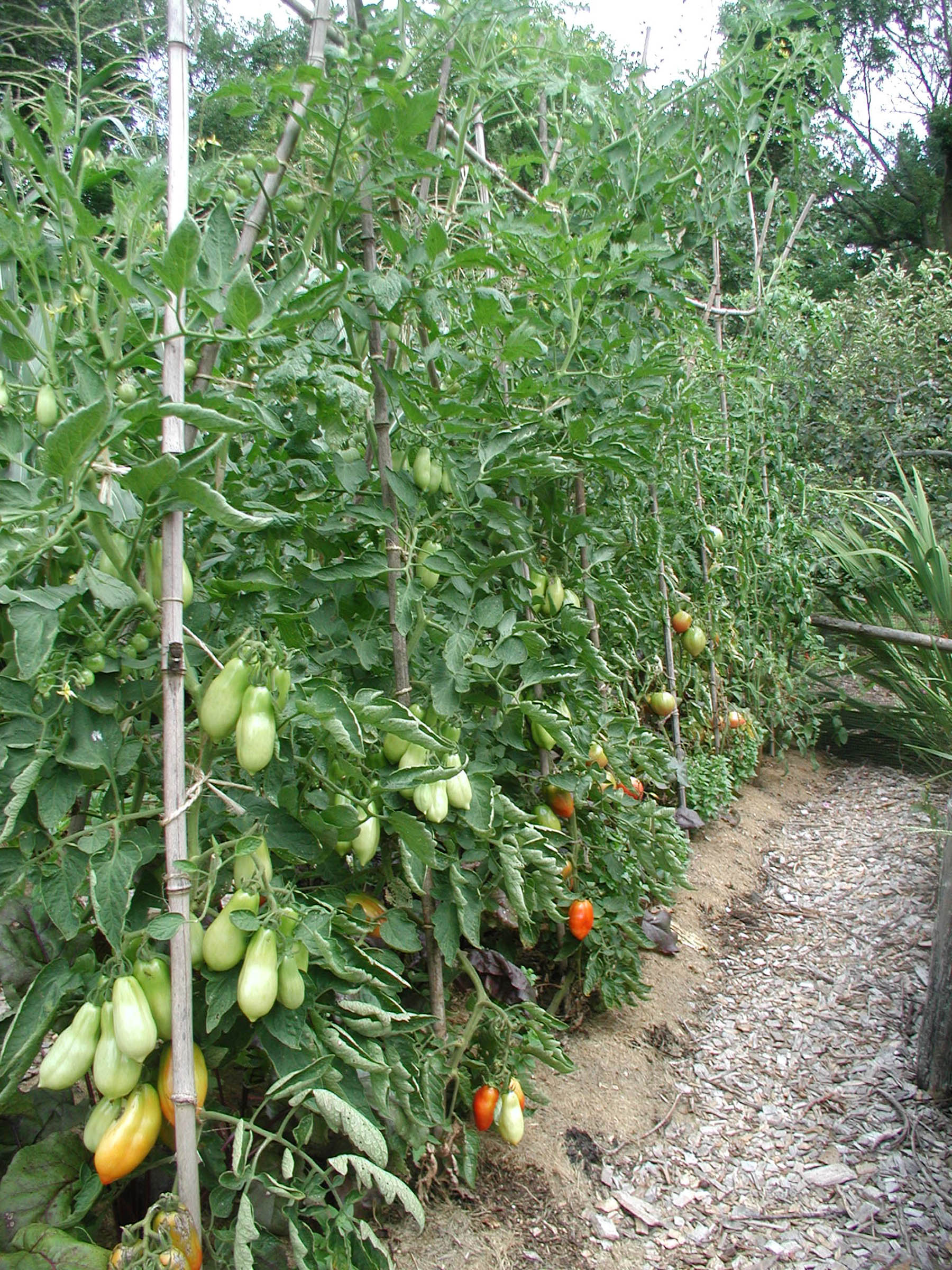For greatest yields, and to pack the most varieties into a small space, prune tomatoes and train them to stakes.