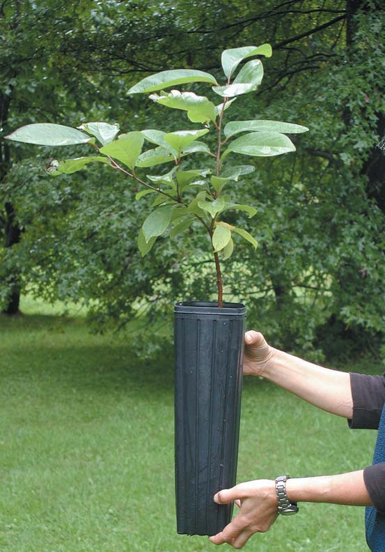 Small saplings 2' to 4' tall are firmly established, easy to plant, and lower on maintenance than larger plants.
