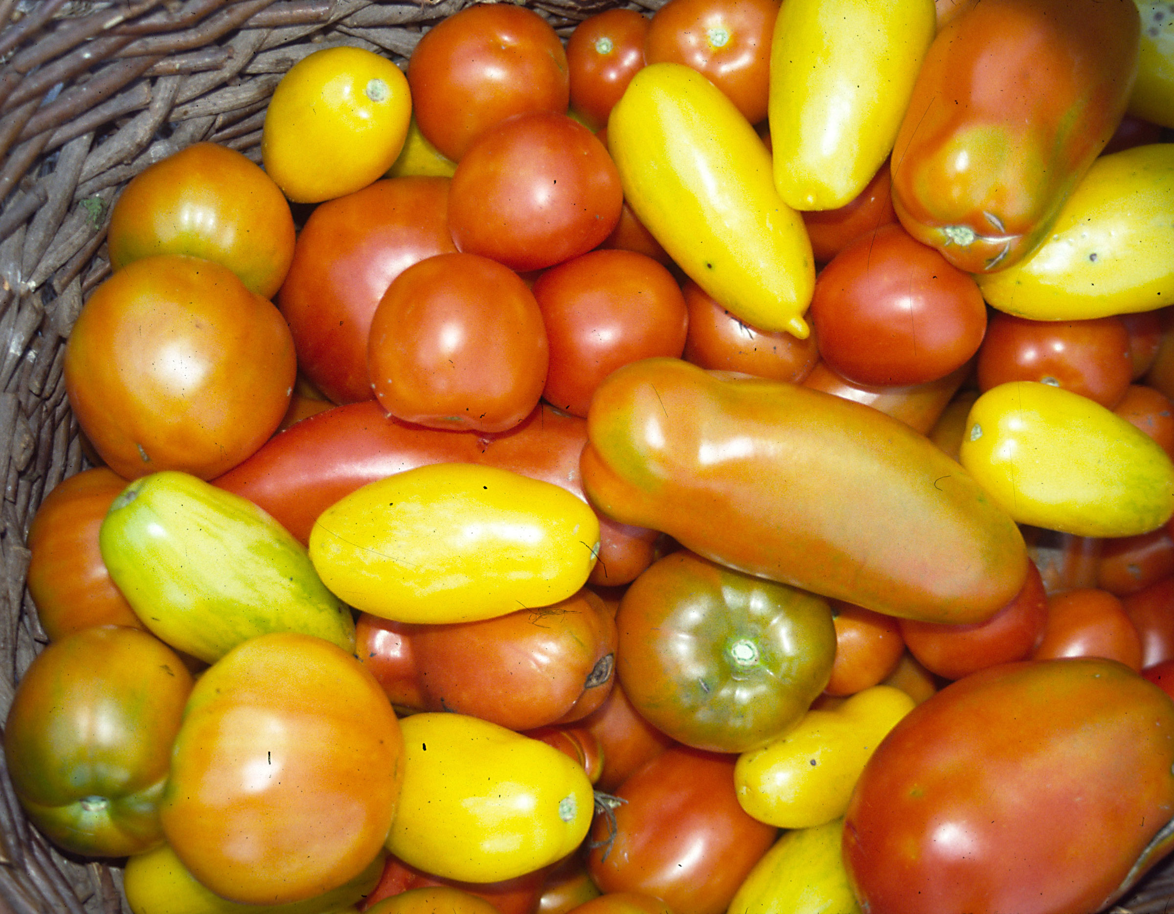 Heirloom tomatoes come in all shapes, sizes, colors, and flavors.