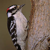 Dealing With Woodpecker Damage To Old Houses Restoration