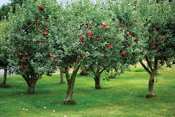 Choosing the Most Productive Fruit Trees Is Easier Than You Think